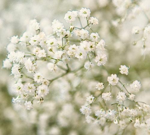 loai hoa may man cho 12 cung hoang dao - 11