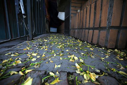 Ngắm cây hoa bún có 2 màu hoa ở Hà Nội-15