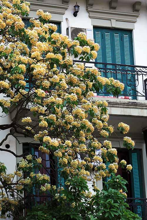 Ngắm cây hoa bún có 2 màu hoa ở Hà Nội-2