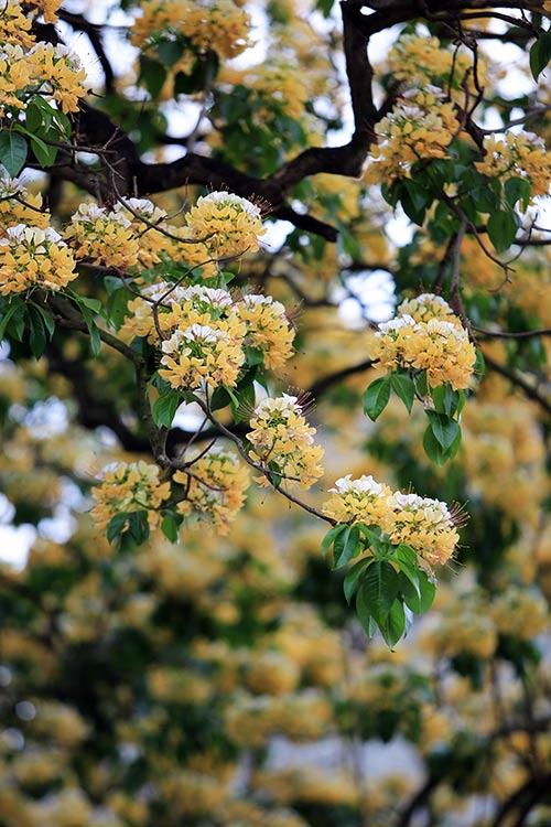 Ngắm cây hoa bún có 2 màu hoa ở Hà Nội-5