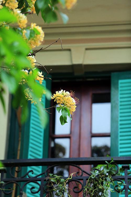 Ngắm cây hoa bún có 2 màu hoa ở Hà Nội-11