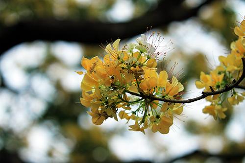 Ngắm cây hoa bún có 2 màu hoa ở Hà Nội-3