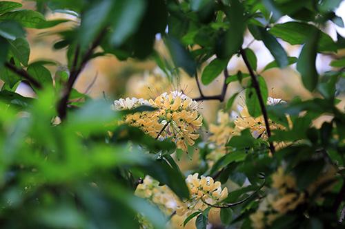 Ngắm cây hoa bún có 2 màu hoa ở Hà Nội-8