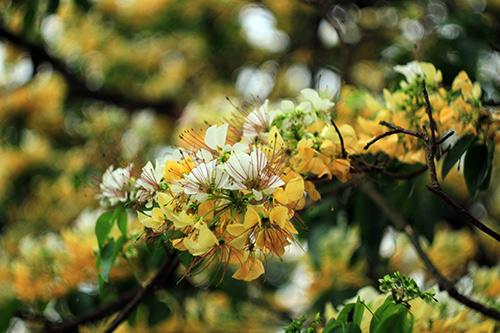 Ngắm cây hoa bún có 2 màu hoa ở Hà Nội-7
