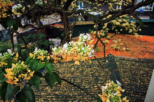 Ngắm cây hoa bún có 2 màu hoa ở Hà Nội-14