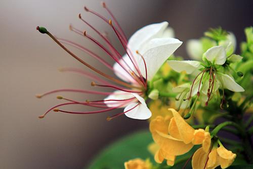 Ngắm cây hoa bún có 2 màu hoa ở Hà Nội-4