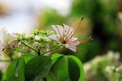 Ngắm cây hoa bún có 2 màu hoa ở Hà Nội-6