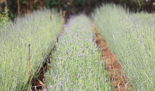 Vườn oải hương ở Đà Lạt