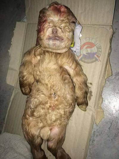 Hoảng hồn phát hiện dê mới sinh có 'mặt người' ở Malaysia-1