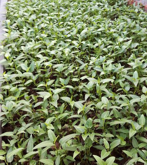 ba ngoai tuoi 50 do mai ton, xay luong trong rau san thuong - 12