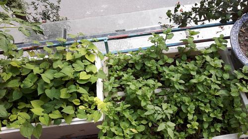 ba ngoai tuoi 50 do mai ton, xay luong trong rau san thuong - 6