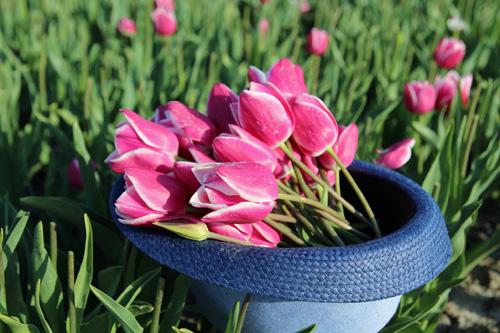 Hai thiên thần lai gốc Việt bên cánh đồng hoa Tulip đẹp như tranh-7