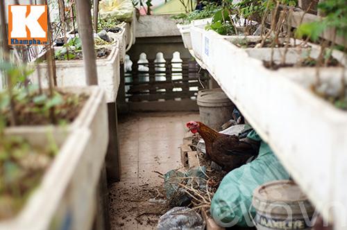 Chàng trai nuôi lợn, gà và trồng rau sạch giữa Thủ đô-11