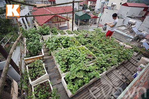 Chàng trai nuôi lợn, gà và trồng rau sạch giữa Thủ đô-1