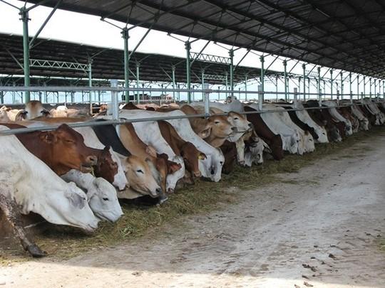 Đua nhập bò Úc giá bèo 3USD/kg về vỗ béo bán thu siêu lợi nhuận-1