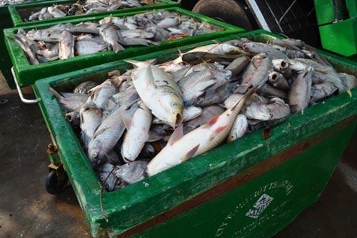 TPHCM công bố nguyên nhân cá chết trắng kênh Nhiêu Lộc-4