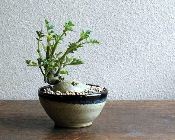 me man bien tau bonsai trong tu rau, cu, qua - 5
