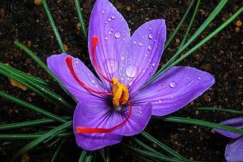 """10 loài hoa đắt đỏ, """"hiếm có khó tìm"""" nhất trên thế giới - 6"""