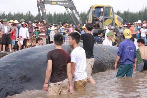 Giải cứu cá voi nặng 15 tấn dạt vào bờ biển Nghệ An-2