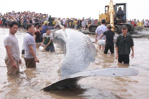 Giải cứu cá voi nặng 15 tấn dạt vào bờ biển Nghệ An-3
