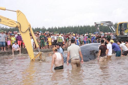 Giải cứu cá voi nặng 15 tấn dạt vào bờ biển Nghệ An-4