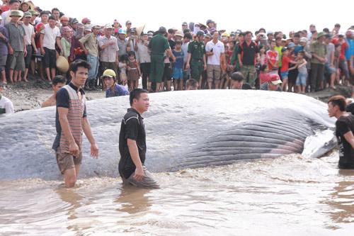 Giải cứu cá voi nặng 15 tấn dạt vào bờ biển Nghệ An-6