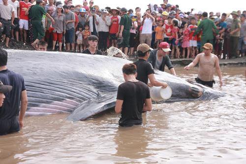 Giải cứu cá voi nặng 15 tấn dạt vào bờ biển Nghệ An-7