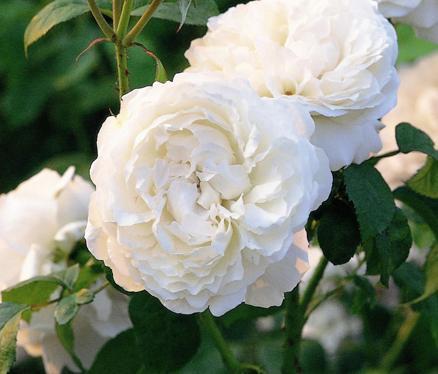 mê mẩn những loài hoa hồng đẹp nhất trên thế giới nhà đẹp