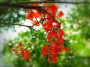 Làm mẹ - Truyện cổ tích: Sự tích hoa phượng