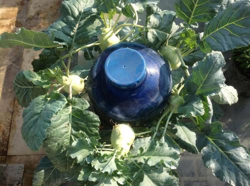 Ngó vườn rau độc trồng trong mũ bảo hiểm, bình cứu hỏa-7