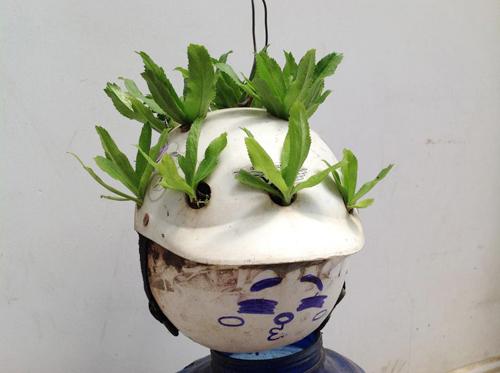 Ngó vườn rau độc trồng trong mũ bảo hiểm, bình cứu hỏa-19