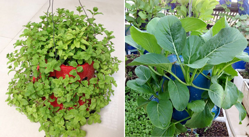 Ngó vườn rau độc trồng trong mũ bảo hiểm, bình cứu hỏa-12