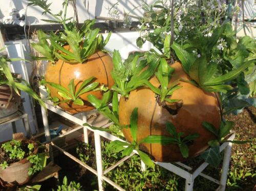 Ngó vườn rau độc trồng trong mũ bảo hiểm, bình cứu hỏa-9