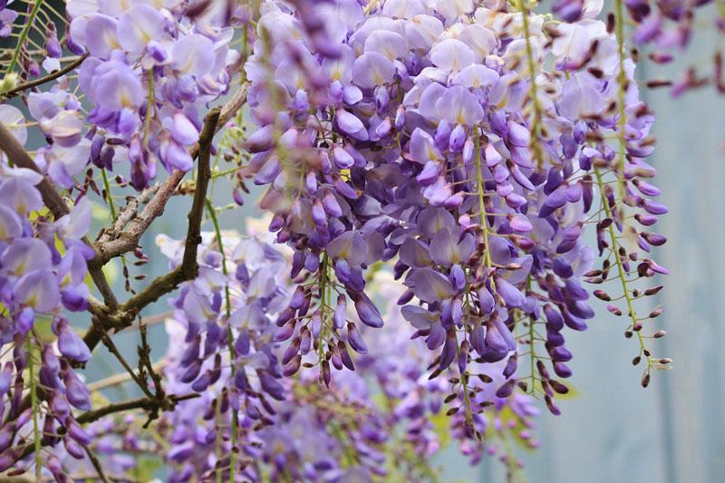 10 loai hoa nen trong giup nha thom ngat ngay - 1