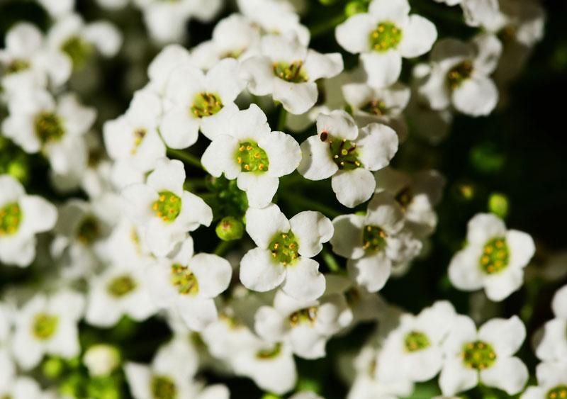 10 loai hoa nen trong giup nha thom ngat ngay - 3