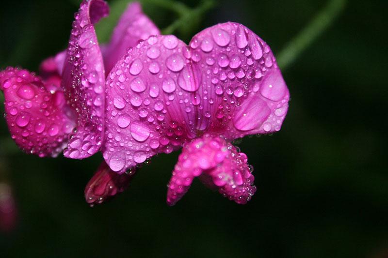 Hoa đậu thơm