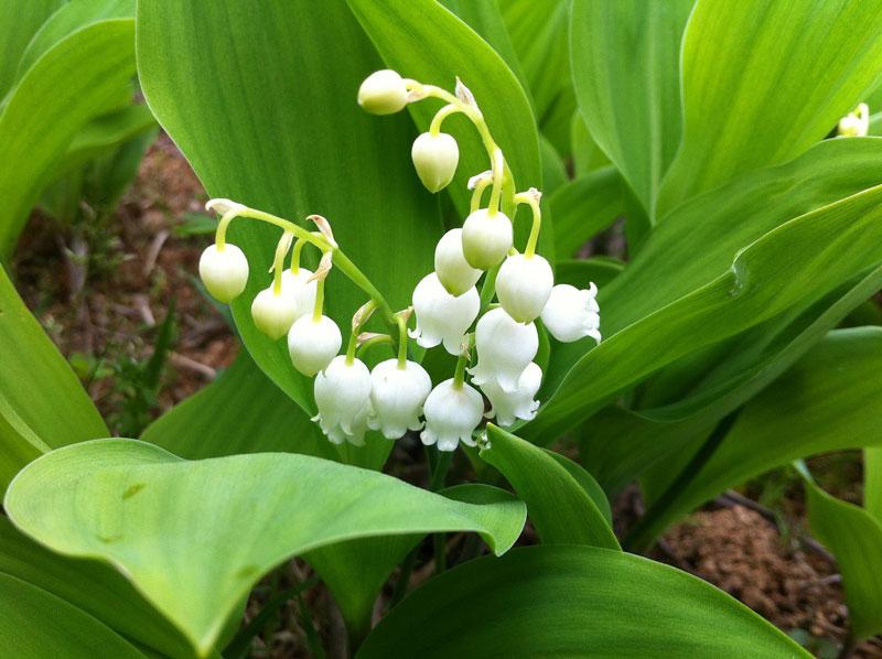 10 loai hoa nen trong giup nha thom ngat ngay - 8