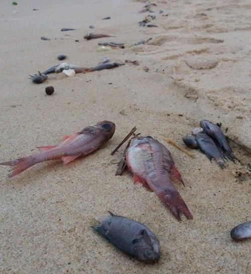 Toàn cảnh vụ cá chết hàng loạt ở miền Trung-3