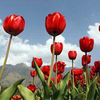 Ngắm hoa tulip mà chẳng cần đến Hà Lan