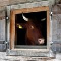 Tin tức - Đột tử vì… bò rơi trúng người