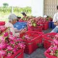 Tin tức - Yên tâm vì chợ không có thanh long Trung Quốc