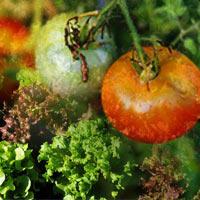 Tập trồng rau tại nhà như chuyên gia (P3)