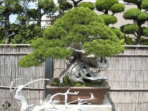 chiem nguong mau bonsai dep nhat the gioi - 9