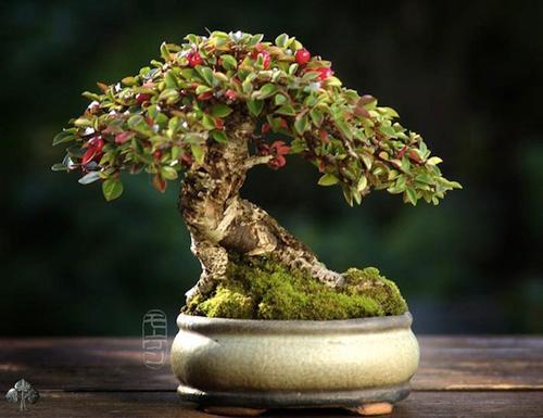 chiem nguong mau bonsai dep nhat the gioi - 3