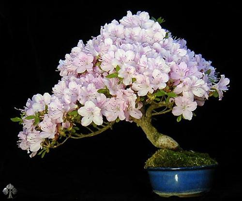 chiem nguong mau bonsai dep nhat the gioi - 6
