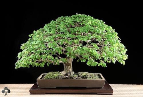 chiem nguong mau bonsai dep nhat the gioi - 7