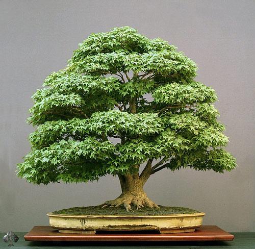 chiem nguong mau bonsai dep nhat the gioi - 8