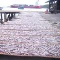 Mua sắm - Giá cả - Quy Nhơn: Ngư dân trúng đậm cá cơm than