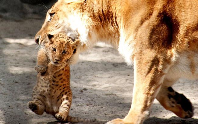 Sư tử hổ mẹ cắp con trong vườn thú Novosibirsk, Nga. Đây là loại động vật rất hiếm được lai giữa sư tử và hổ.