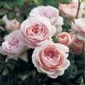 Nhà đẹp - Chớm thu, hoa hồng Anh rộ sắc